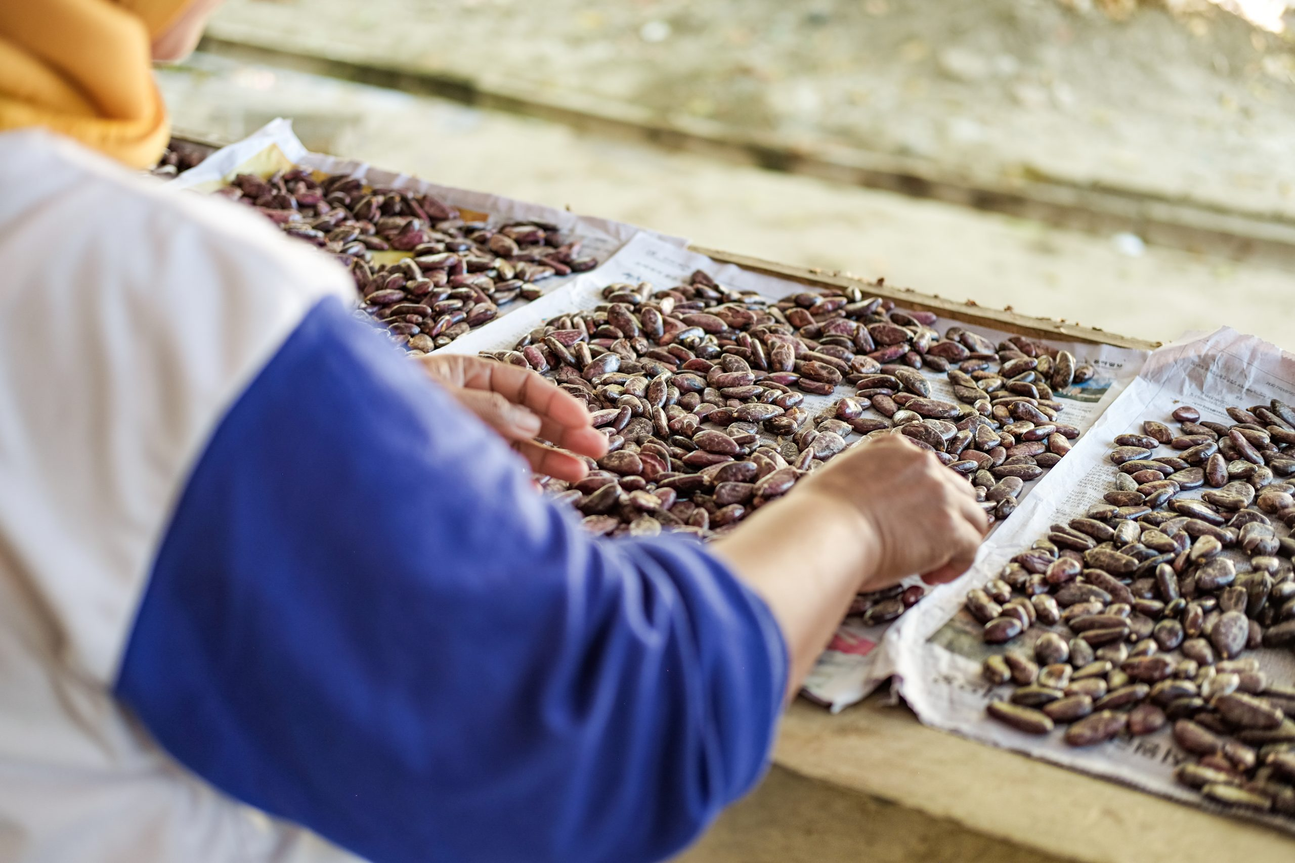 A woman sorting bean samples at the Indonesia Coffee and Cocoa Research Institute research station in Jember, East Java.