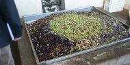 Area for loading olives into the crushing machine at an olive oil processing unit supported by the Catalyst Fund.