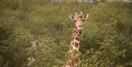 A giraffe looks towards the camera from above the forest canopy.