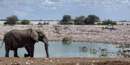 An elephant looks toward a pond in Etosha National Park. Zebra and antelope drink from the pond nearby.