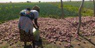 Woman harvesting onions on the Di Perimeter
