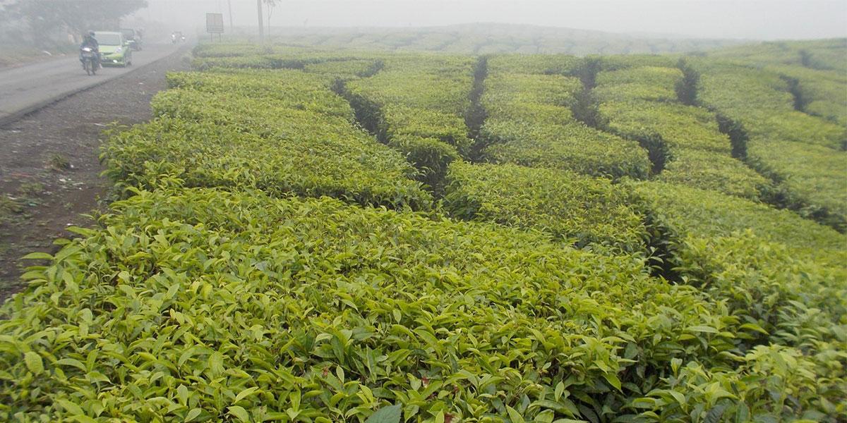Tea fields overshadowed by a smokey haze from nearby peat fires in the Berbak region of Indonesia.