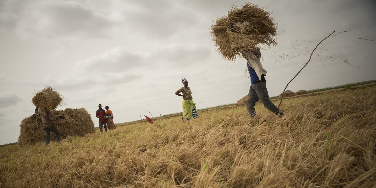 Farmers harvest rice on a family plot in the Senegal River Delta, where MCC installed new and rehabilitated existing irrigation infrastructure as part of the $540 million Senegal Compact, completed in 2015.